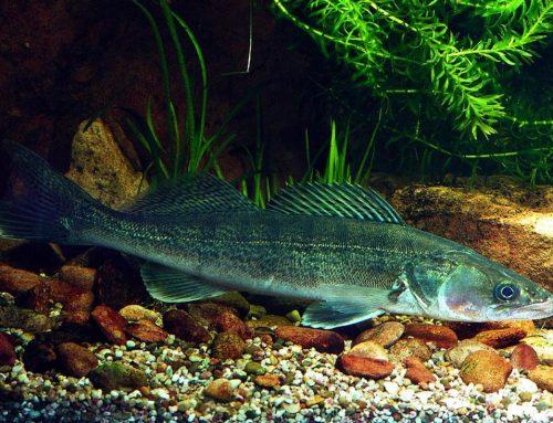 Бяла риба (Stizostedion lucioperca)