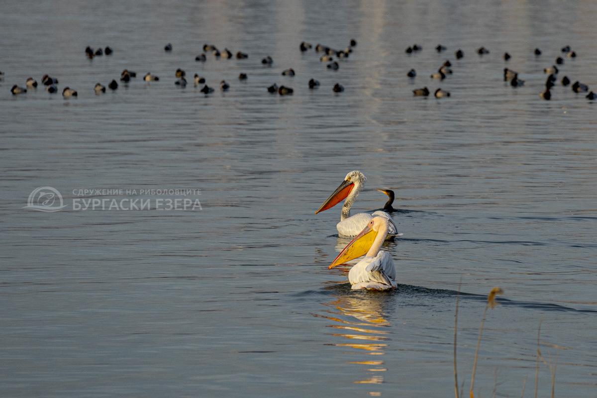 пеликани вая