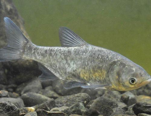 Пъстър толстолоб (Aristhichthys nobilis)
