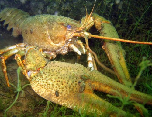 The Disappearing European Crayfish from the Burgas Lakes